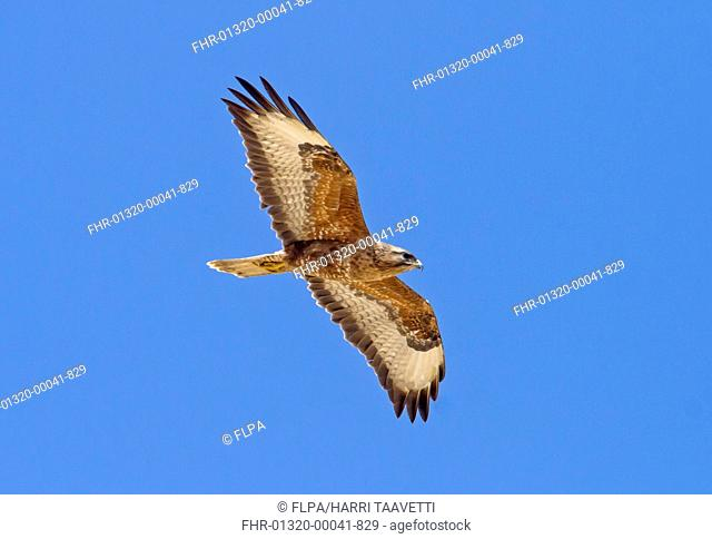 Steppe Buzzard (Buteo buteo vulpinus) adult, in flight, Eilat, Israel, March