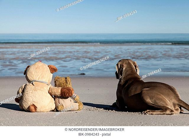 Teddy bears sitting on a sandy beach, embracing as friends and looking longingly at the sea, Weimaraner hunting dog next to them