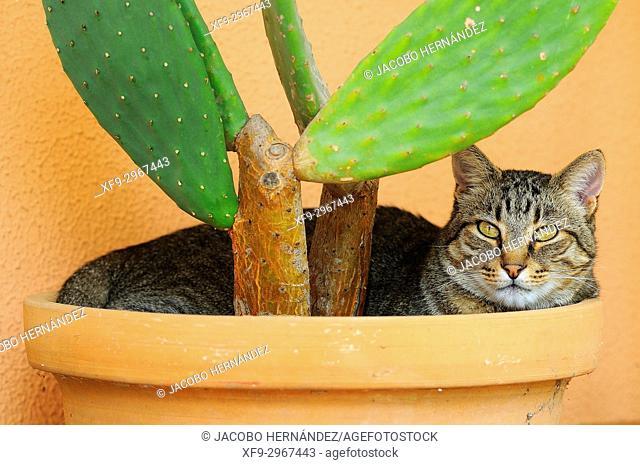 Cat resting on a flowerpot. Badajoz. Extremadura. Spain