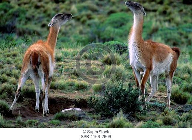 Chile, Torres Del Paine Nat'L Park, Guanacos, Mother Spitting To Ward Off Family Group