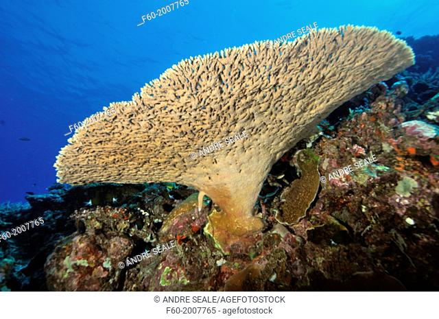 Elkhorn coral, Acropora sp., Dumbea Pass, Noumea, New Caledonia, South Pacific