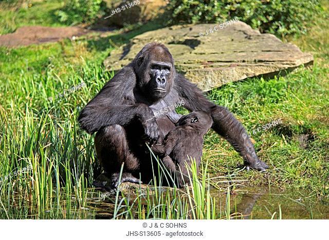 Lowland Gorilla,Gorilla gorilla, Africa, adult female with young suckling