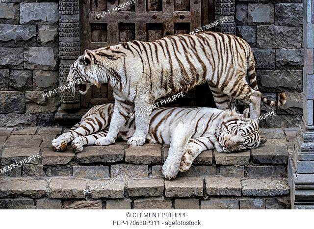 Two white tigers / bleached tiger (Panthera tigris), native to India, meeting at temple
