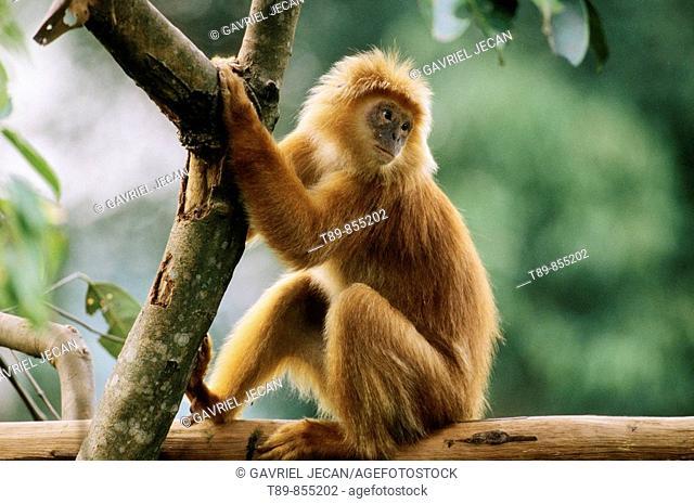 Silvered Leaf Monkey  Trachypithecus cristatus