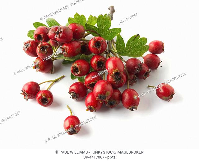 May-tree, whitethorn, or hawberry (Crataegus sp.), fresh berries and foliage on wooden planks against white background