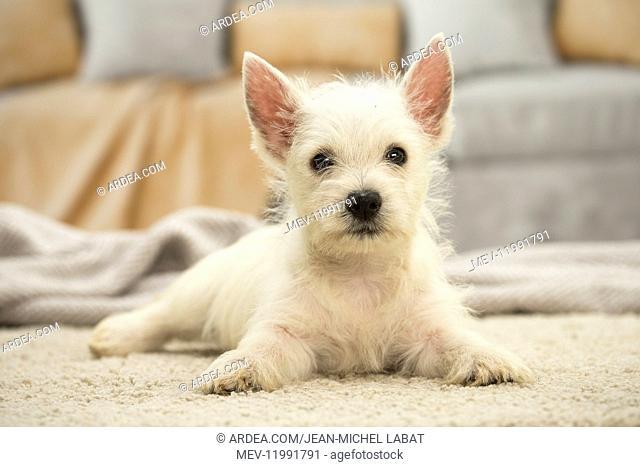 West Highland White Terrier Dog, Westie, puppy