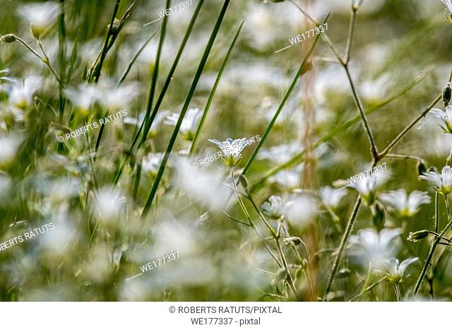 White wild flowers. Blooming flowers. Beautiful white wild flowers in green grass as background. Meadow with white flowers. Field flowers
