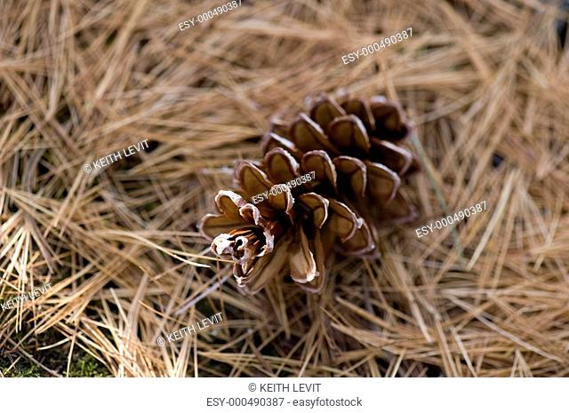 Close-up of pine cone, Lake of the Woods, Ontario, Canada