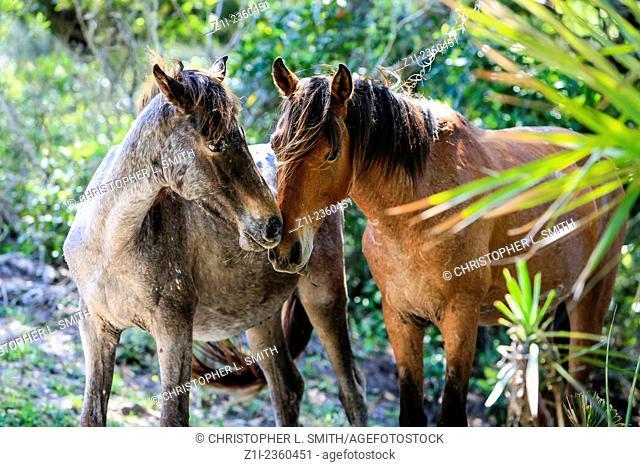 Wild horses roam the lush pastures on Cumberland Island GA