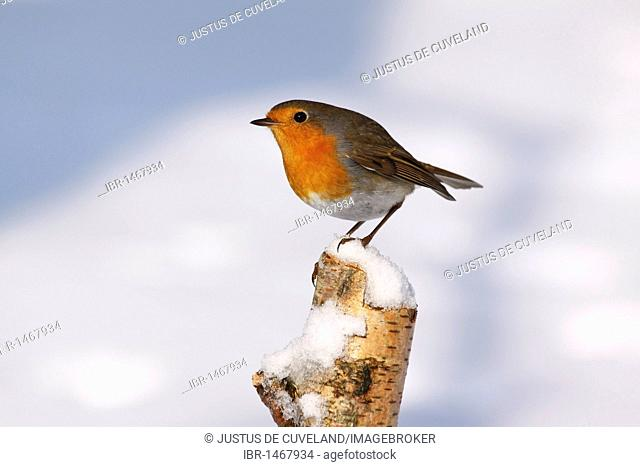 European robin, Redbreast (Erithacus rubecula) in winter in snow, perched on birch stump