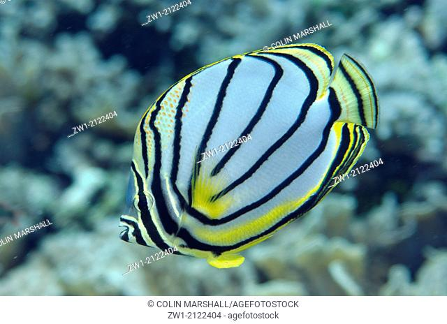Meyer's Butterflyfish (Chaetodon meyersi) at Beacon Wall dive site off Nyata Island near Alor in eastern Indonesia