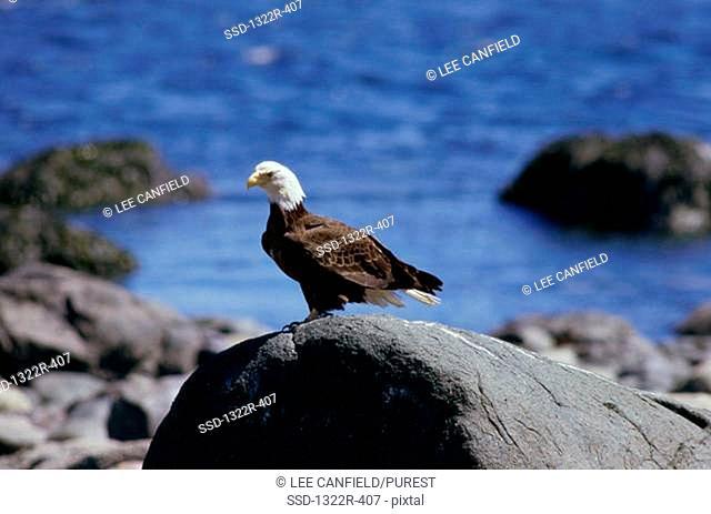 Bald Eagle on a rock