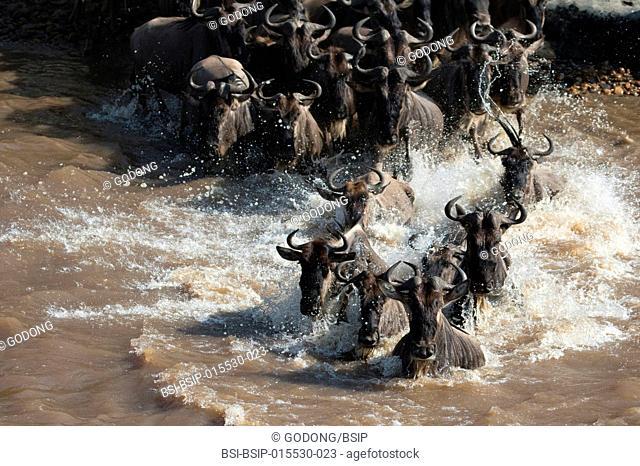 Masai Mara National Reserve. Herd of migrating wildebeest (Connochaetes taurinus) crossing Mara river. Kenya