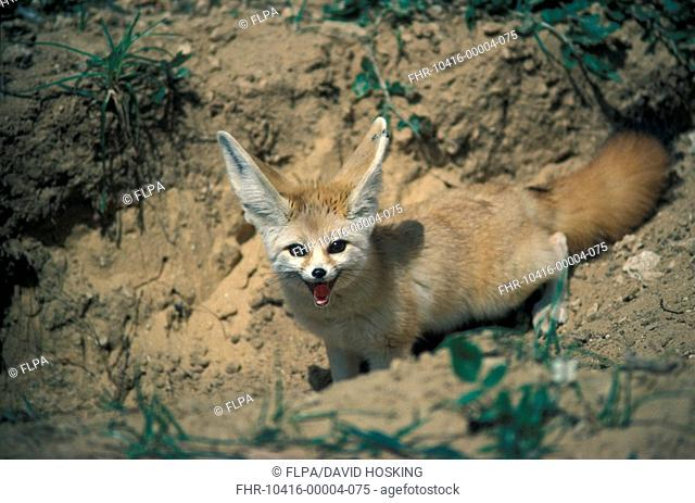 Fennec Fox Fennecus zerda Close-up - standing on soil S