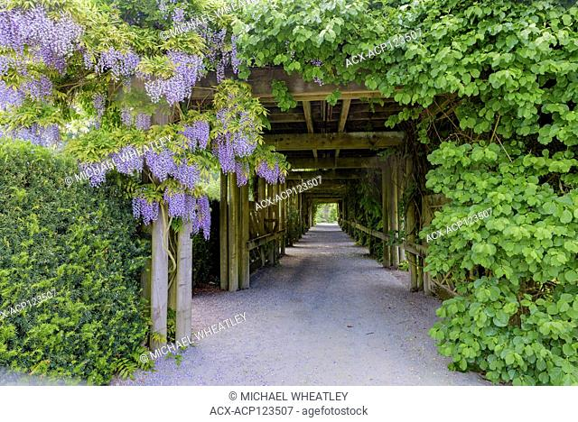 Wisteria and covered path, UBC Botanical Gardens, University of British Columbia, Vancouver, British Columbia, Canada