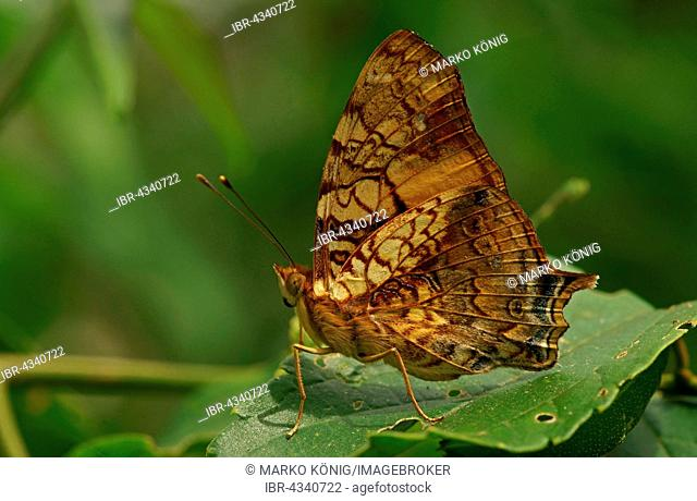 Nymphalidae (Nymphidae) Tropical Butterfly, Orange Admiral (Hypanartia lethe), Iguazú National Park, Paraná, Brazil
