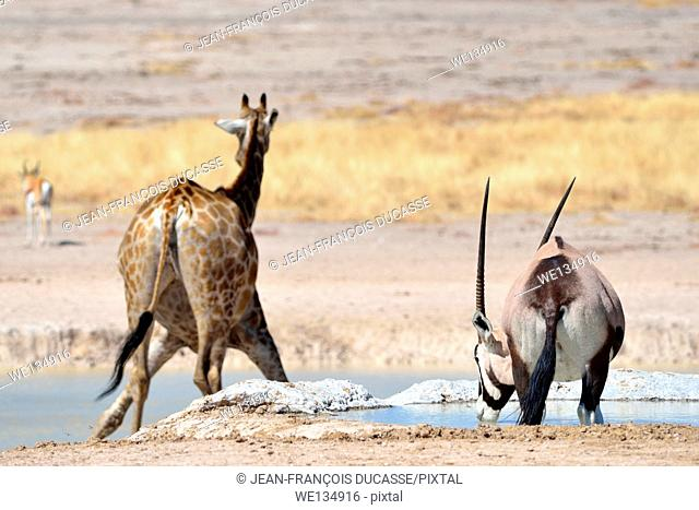 Giraffe (Giraffa camelopardalis) with a male gemsbok (Oryx gazella), drinking at waterhole, Etosha National Park, Namibia, Africa