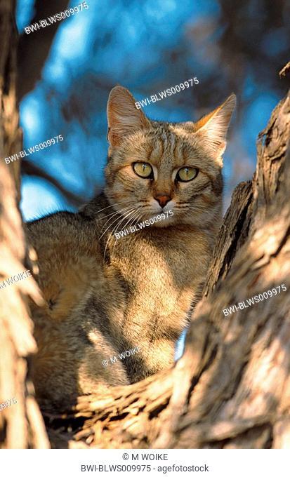 African wildcat Felis lybica, Felis libyca, Felis sylvestris lybica, Felis sylvestris libyca, sitting on a tree, South Africa, Kgalagadi Transfrontier NP