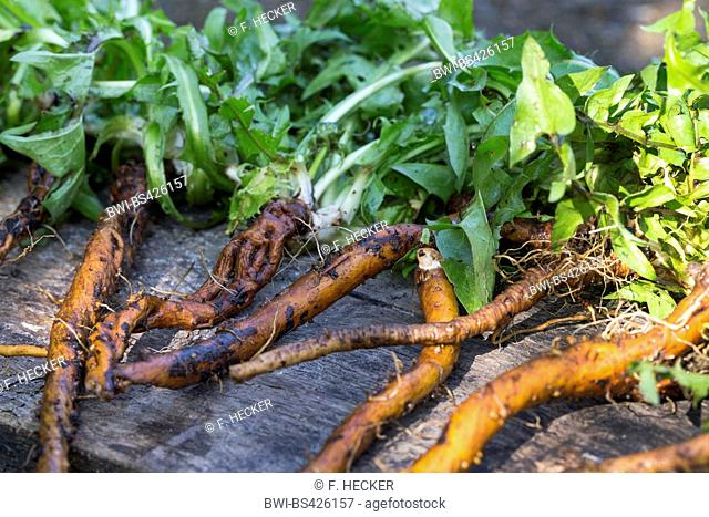 common dandelion (Taraxacum officinale), collected dandelion roots, Germany