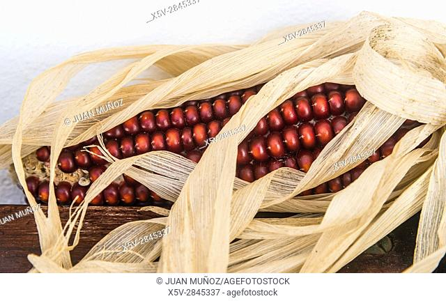 Corncobs. Natural Park Aracena and Picos de Aroche. Huelva. Andalusia. Spain