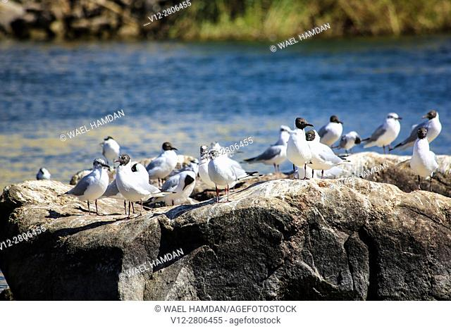 SEA BIRDS IN FLy by RIVER NILE ASWAN, EGYPT