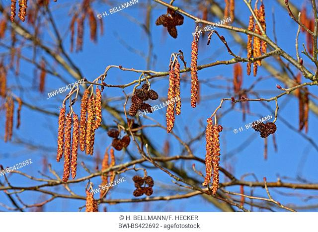 common alder, black alder, European alder (Alnus glutinosa), blooming elder, male catkins and ripe fruits, Germany