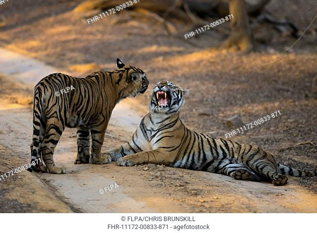 Indian Tiger (Panthera tigris tigris) adult female snarling at cub, resting on track, Ranthambore N.P., Rajasthan, India, February