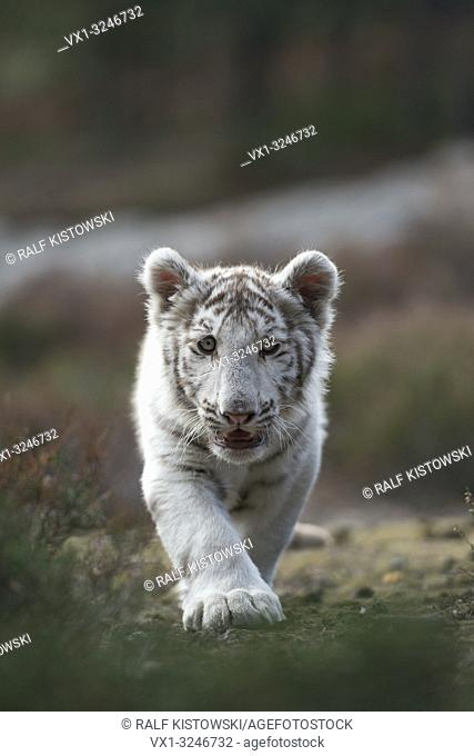 Royal Bengal Tiger / Koenigstiger ( Panthera tigris ), white morph, young, cute, sneaking straight towards the fotographer, frontal shot