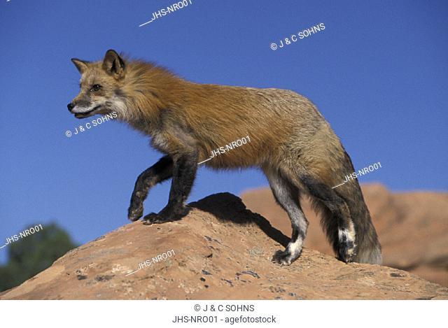 American Red Fox , Vulpus fulva , Utah , USA , Adult male on rock
