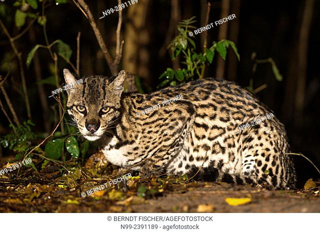 Ocelot (Leopardus pardalis), at the edge of riverine forest, Mato Grosso do Sul, Brazil