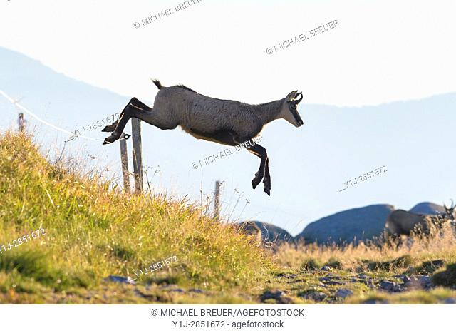 Chamois (Rupicapra rupicapra) jumping over willow fence, Hohneck, Vosges, Alsace, France, Europe