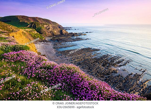 Thrift, otherwise known as Sea Pink, in flower on the coastal cliff top at Speke's Mill Mouth, Hartland, North Devon, England