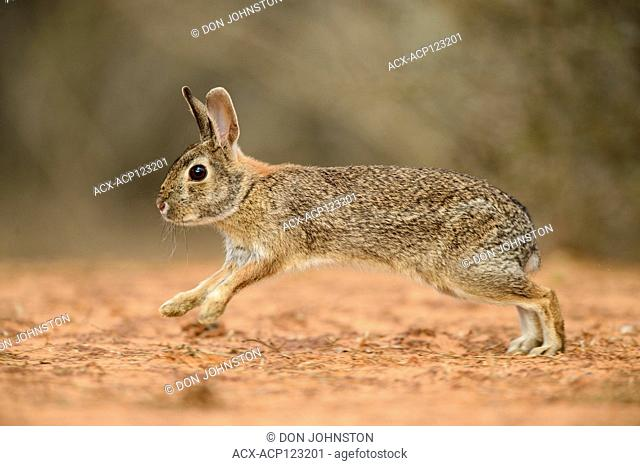Desert cottontail (Sylvilagus audubonii), Santa Clara Ranch, Starr County, Texas, USA