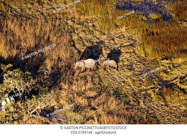 African Elephant (Loxodonta africana). Aerial View of the Okawango Delta, Botswana