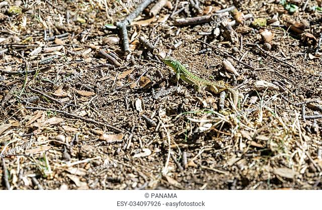 Small green European lizard with natural background closeup