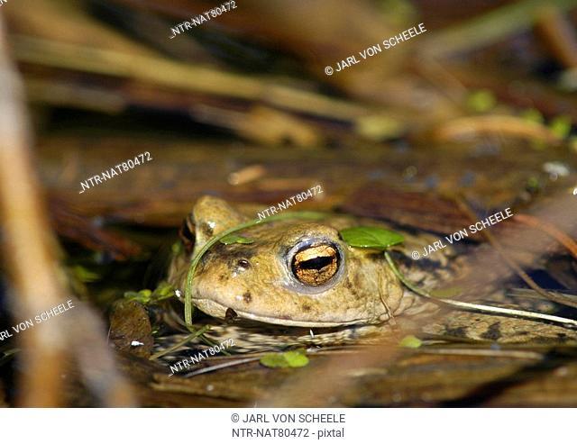 Toad lifting its head, Sweden