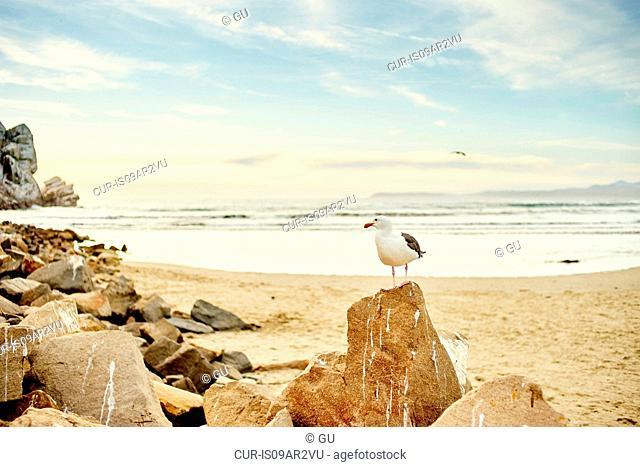 Seagull standing on beach rock, Morro Bay, California, USA
