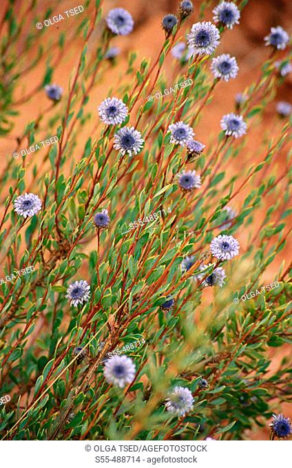 Perennial bushy plant of the globularia family - globulariaceae - up to 60 cm. Stems erect and ligneous. Leaves short-stalked, lanceolate ending in a spine
