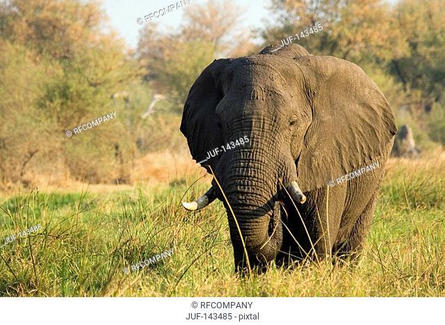 African elephant - standing / Loxodonta africana