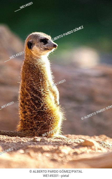 Meerkat, adult sitting on a mound of sand