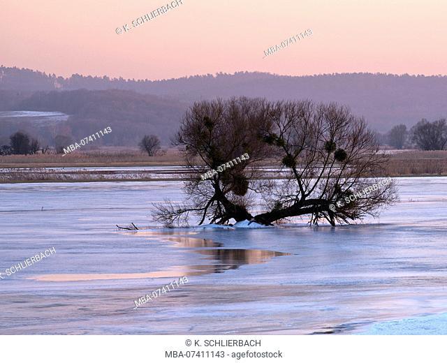 Germany, Brandenburg, Uckermark, Schwedt, Lower Oder Valley National Park, winter morning in the Oder meadow, ice rink, old willow tree, mistletoes, reeds