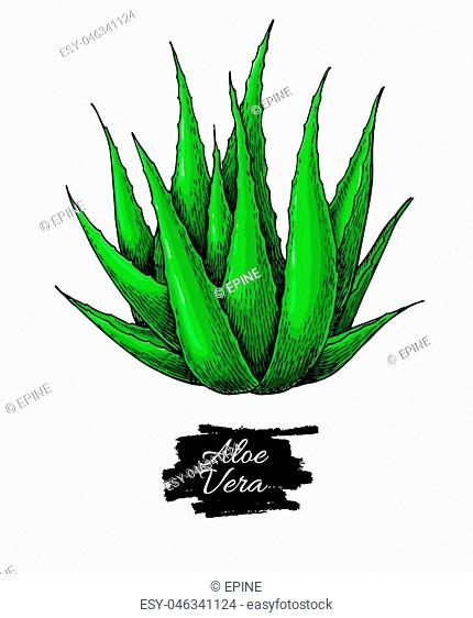 Aloe vera vector illustration. Hand drawn artistic isolated object on white background. Natural cosmetic ingredient. Botanical drawing of lemongrass plant