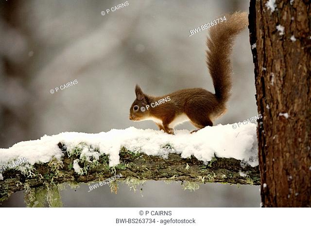 European red squirrel, Eurasian red squirrel Sciurus vulgaris, on snow covered branch, United Kingdom, Scotland, Cairngorms National Park