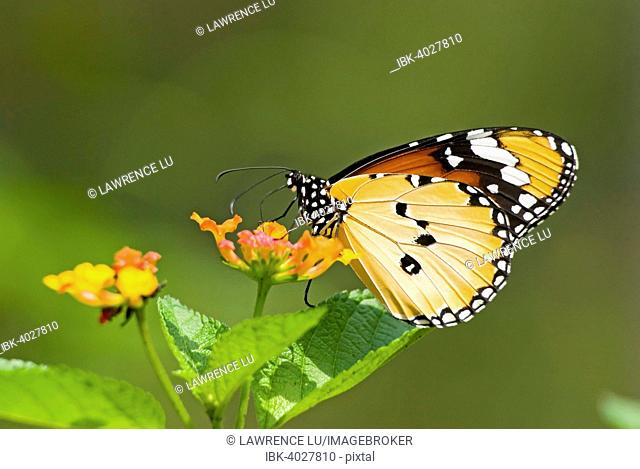 Plain Tiger or African Monarch butterfly (Anosia chrysippus) feeding on flower