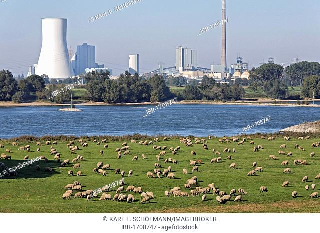 Flock of sheep grazing on the banks of the Rhine against industrial scenery, Alsumer Berg protected landscape, Bruckhausen, Duisburg, North Rhine-Westphalia