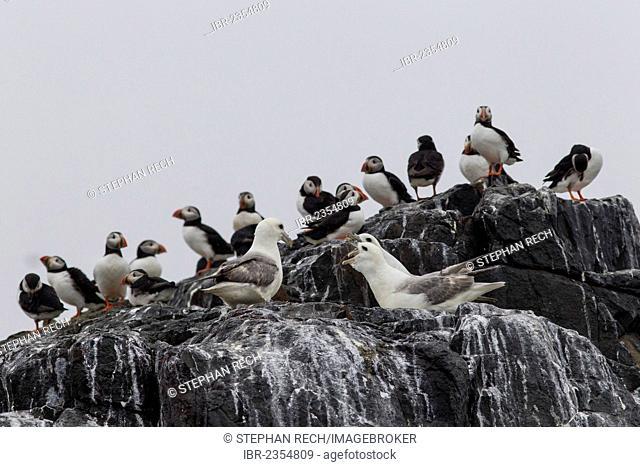 Puffins (Fratercula arctica) and Northern Fulmars (Fulmarus glacialis), Farne Islands, Northumberland, England, United Kingdom, Europe