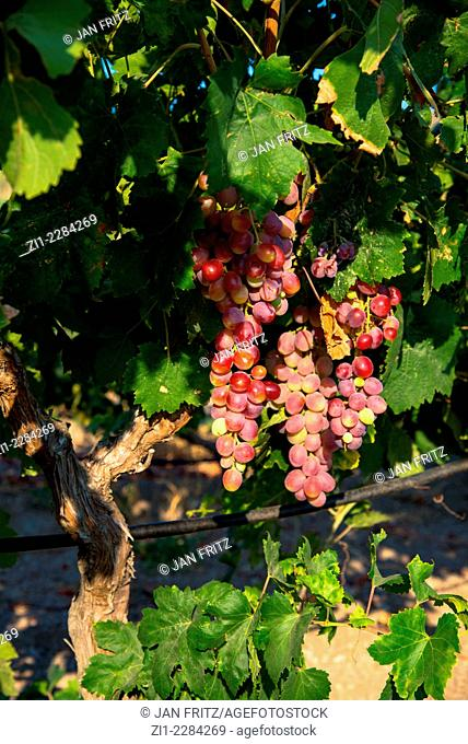 red grapes at vineyard in Milos in Greece