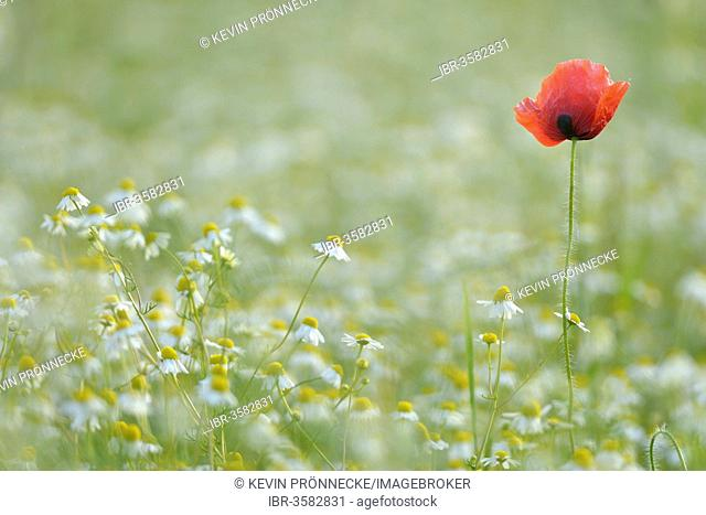Corn Poppy or Red Poppy (Papaver rhoeas) and Chamomile (Matricaria chamomilla) flowering on a field, Saxony, Germany