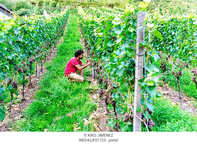 Germany, Gengenbach, man in vineyard looking at grapes from the vine