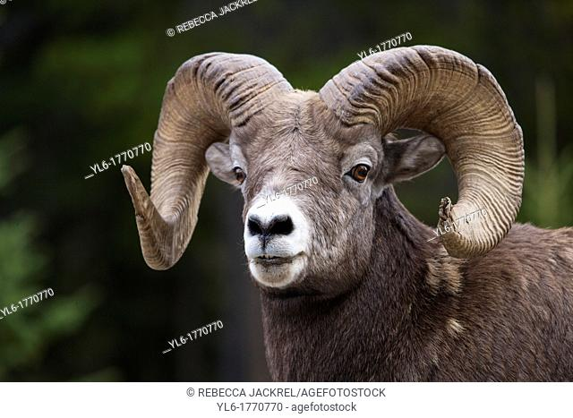 Portrait of rocky mountain bighorn sheep Ovis canadensis canadensis in Jasper National Park, Alberta, Canada
